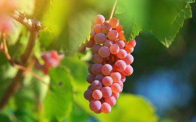 Vino: Marche, export tiene e impennata vendite online